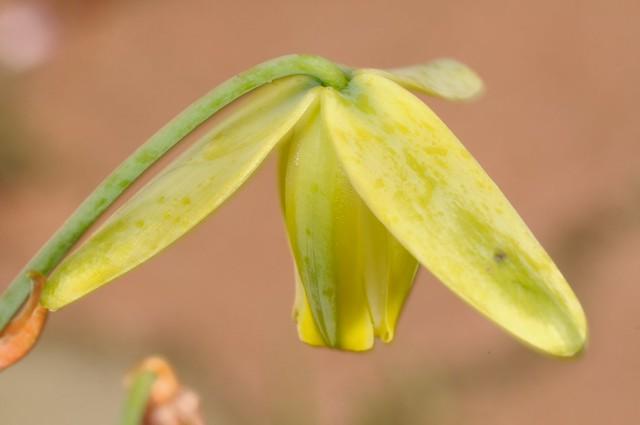 彈簧草 Albuca spiralis 花朵