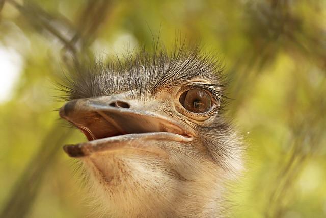 Ostrich, Bannerghatta National Park
