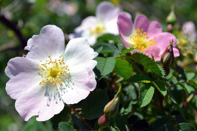 Rosa canina 'Hibernica'. Photo by Jean-Marc Grambert.