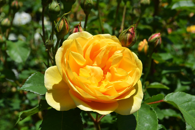 Rosa 'Graham Thomas'. Photo by Jean-Marc Grambert.