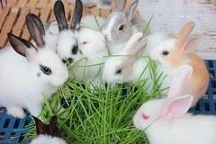 台北市愛兔協會收容的兔子。(圖片來源:台北市愛兔協會臉書)