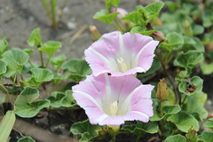pansy(0.0), blossom(0.0), annual plant(1.0), ipomoea violacea(1.0), flower(1.0), pinkladies(1.0), ipomoea alba(1.0), plant(1.0), wildflower(1.0), flora(1.0), petal(1.0),