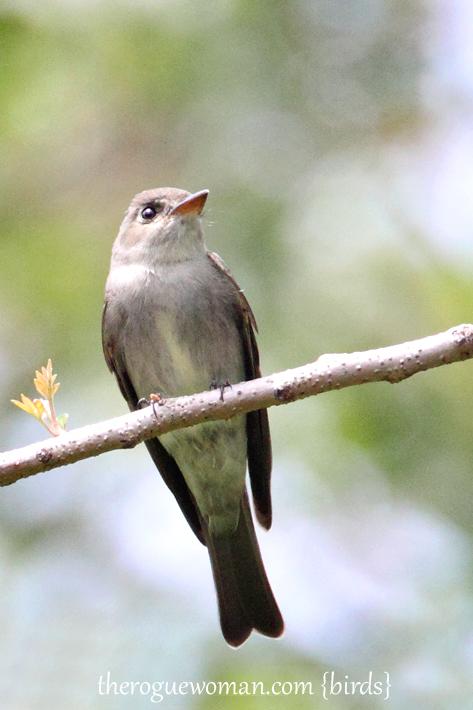 052212_bird_oliveSidedFlycatcher02