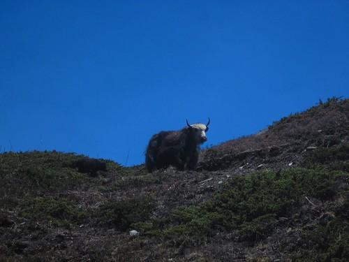 yak near Ledar