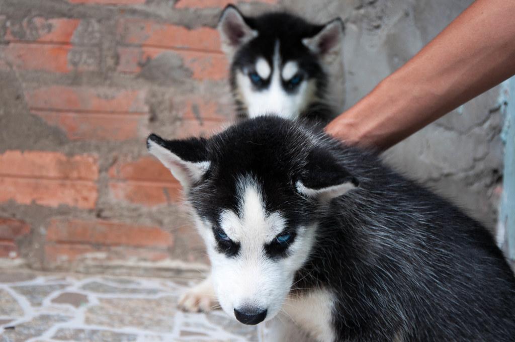 Bán chó Husky mắt xanh 6tr tuyệt đẹp - 7