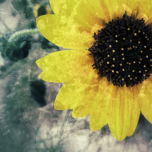 Again #texaswildfowers #iphonetx #flowers #sunflowers #macrogardener #igtexas #yellow #texture #snapseed