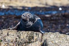 Basking seal