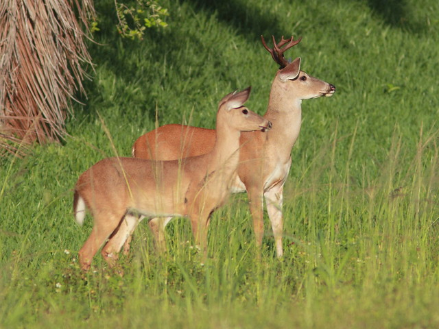 White-tailed Deer couple 20120610