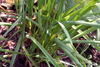 Big Unknown Herb