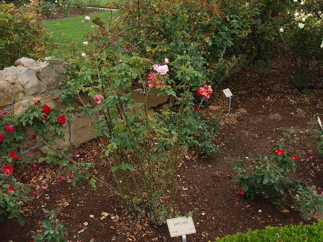 L6104306 Father? Arrilaga lone pink rose bloom