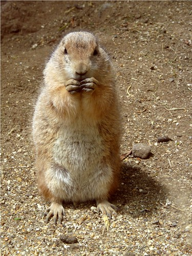Prairie dog by PhotoPuddle