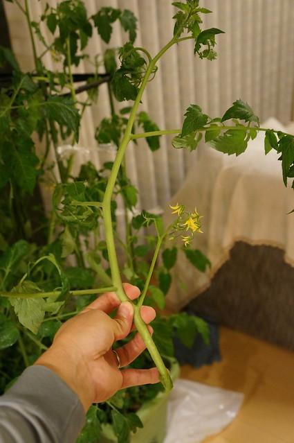台風の日のトマトの枝を切除