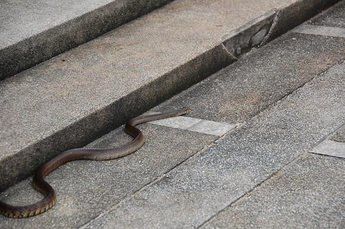 Snake in Bangkok