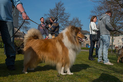eurasier(0.0), tibetan spaniel(0.0), icelandic sheepdog(0.0), dog breed(1.0), animal(1.0), dog(1.0), pet(1.0), scotch collie(1.0), rough collie(1.0), collie(1.0), conformation show(1.0), carnivoran(1.0),