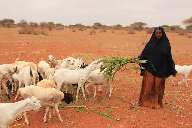 A member of the Muungano Makaror Farming group in Wajir feed their livestock with fodder harvested from their farm