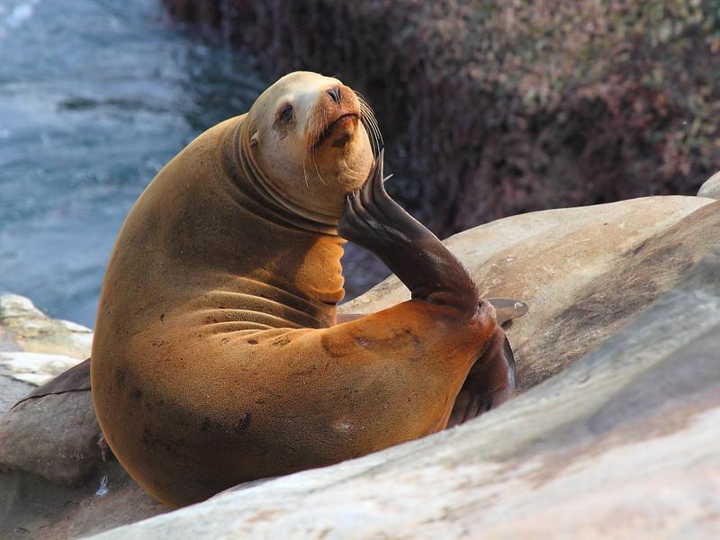 IMG_9878 California Sea Lion at La Jolla Cove