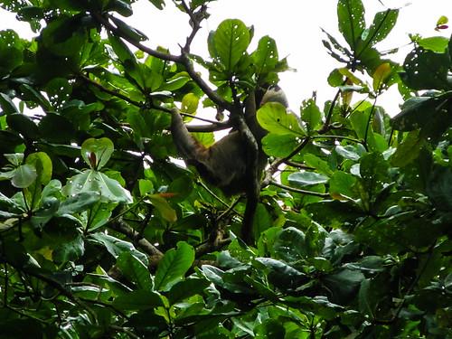 Parc National de Cahuita: un autre paresseux
