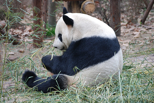 Pandas in Chengdu China 19