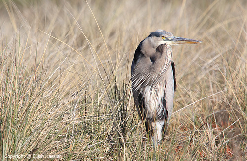 Great Blue Heron at Elkhorn Slough by right2roam