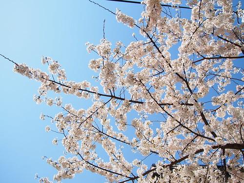 桜 2012 神谷町