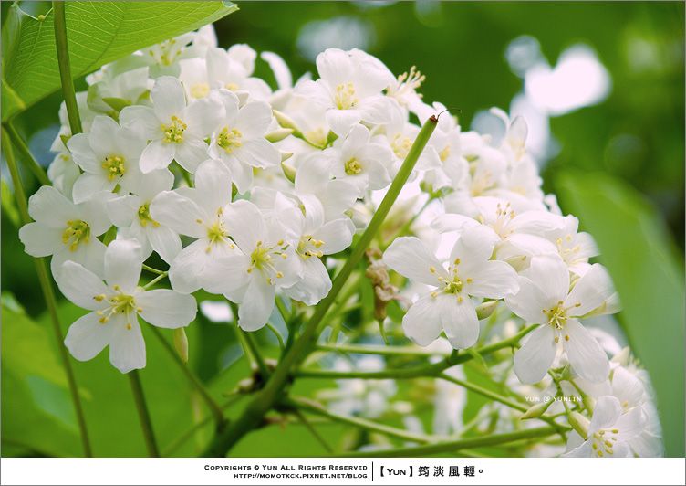 旅行︱雲林古坑.搶鮮春的捧花記憶.荷苞山桐花祭