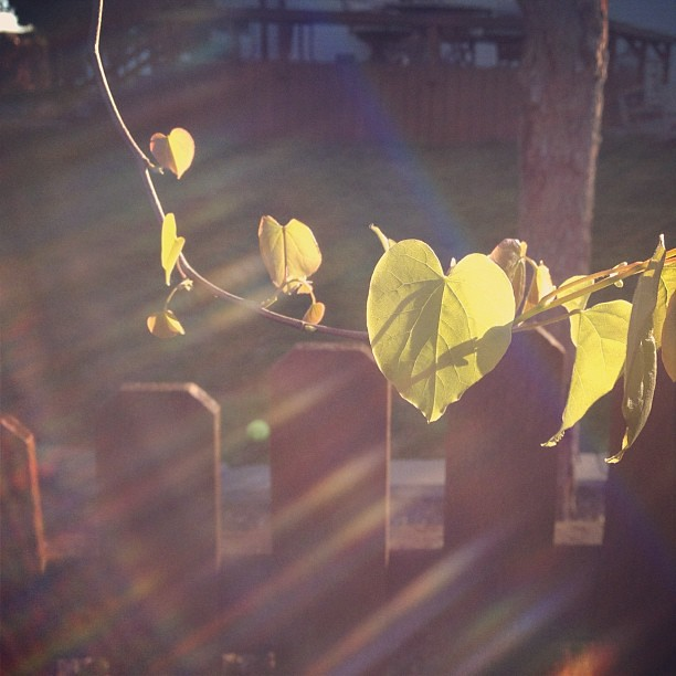 101/365+1 Looking out from the kitchen this morning, the leaves dancing in the early sun catches my eye. #leaves #heart #flare #morning #sierra #iphone4s