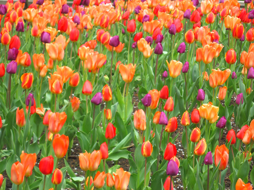 Tulips in Millennium Park, Chicago