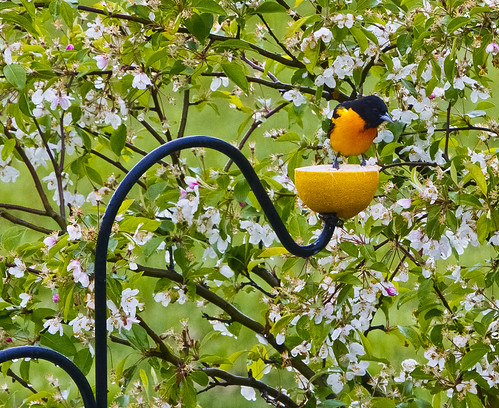 First Baltimore Oriole of the Year! by Ricky L. Jones Photography
