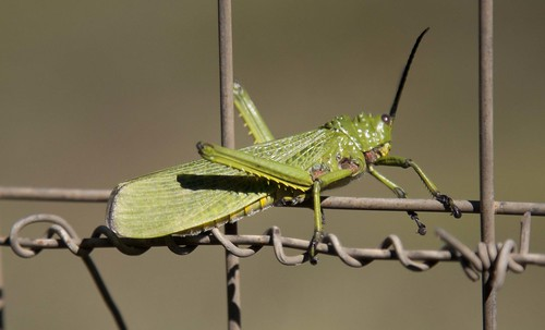 Locust, KZN South Africa