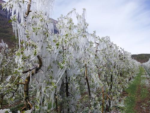 Das Eis schützt die Blüten und somit den Apfelansatz vor der Kälte