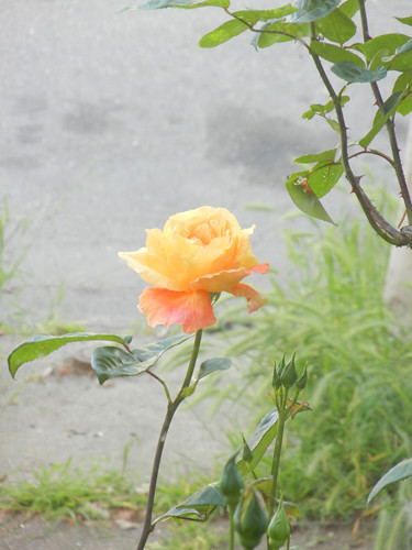 Yellow Rose _ 8606