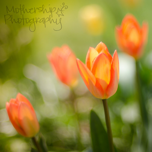 Tulippy