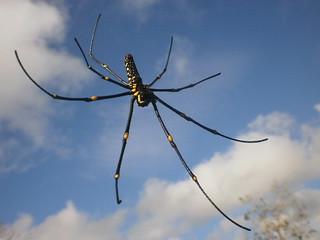 Bulusan Spider even in the Poblacion