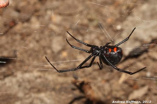 black field spider spiders wildlife andrew guide northern arachnids widow hoffman venomous invertebrates venom latrodectus theridiidae variolus