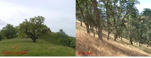 Oak Varieties