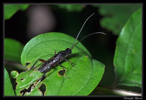 Braconidae (Wroughtonia spinator ?)