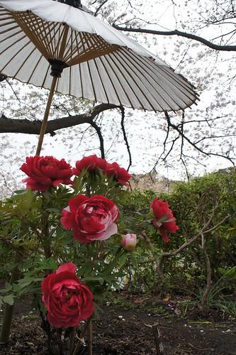 鶴岡八幡宮では、人が多すぎて桜を見ずにほとんど牡丹を見ていました(笑)