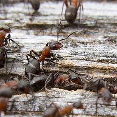 Wood Ant (Formica rufa)