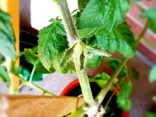tomato flower buds 1