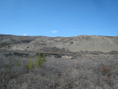 Spruce and pine trees growing near Kangerlussuaq