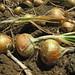 SSFM Onions