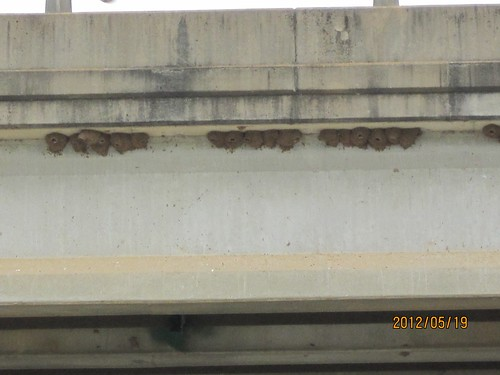 Cliff Swallow Nests at the Oconee River Greenway