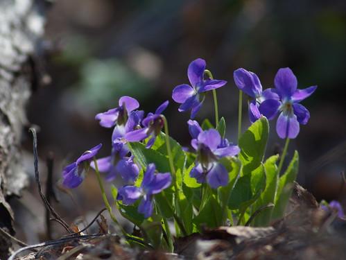 Фиалка опушённая (Viola hirta) Автор: Татьяна Бульонкова