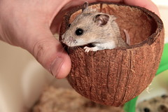 Hamster In A Coconut