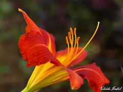 flower, yellow, plant, macro photography, flora, close-up, daylily, petal,