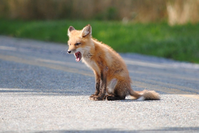 Лисица (Red fox)