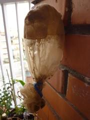 atrapar semillas de lechuga