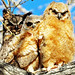 Horned Owls 2