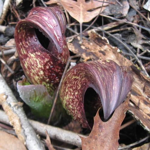 Skunk cabbage (Symplocarpus foetidus), UW Arboretum