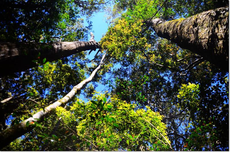 佳仁山稜線上巨木群 2